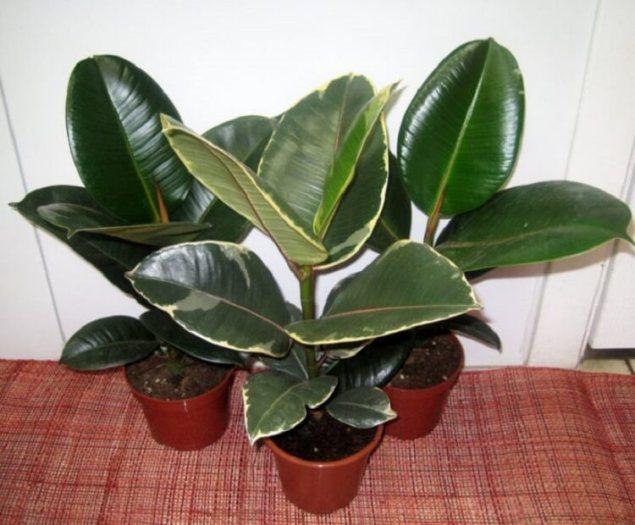 6 лучших растений для вашего дома - фикус