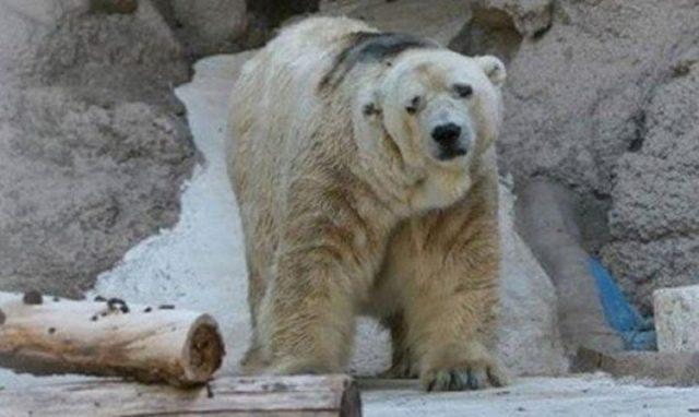 Самый грустный белый медведь в мире скончался после 22 лет жизни в бетонной яме