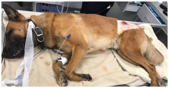 Во время перестрелки, офицера-напарника спас пёс-полицейский, закрыв его от пули!