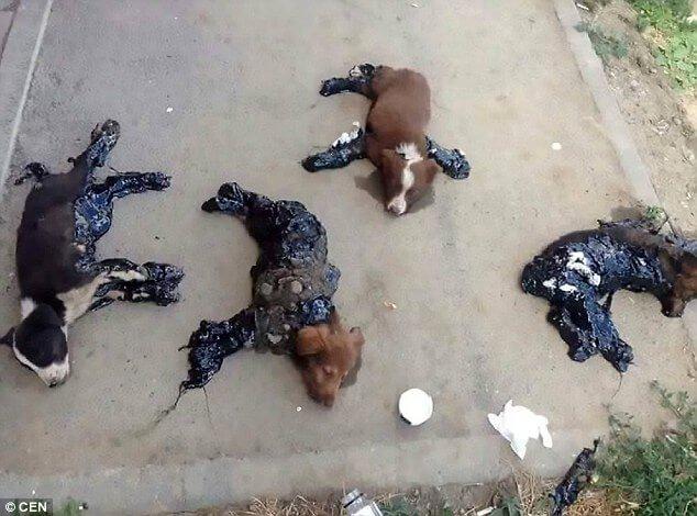 Кто-то облил 4 щенков смолой и оставил их умирать под палящим солнцем. Еще чуть-чуть, и малыши погибли бы…