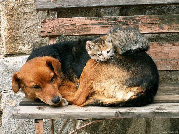Кошки, которые используют собак в качестве подушек [21 Фото]