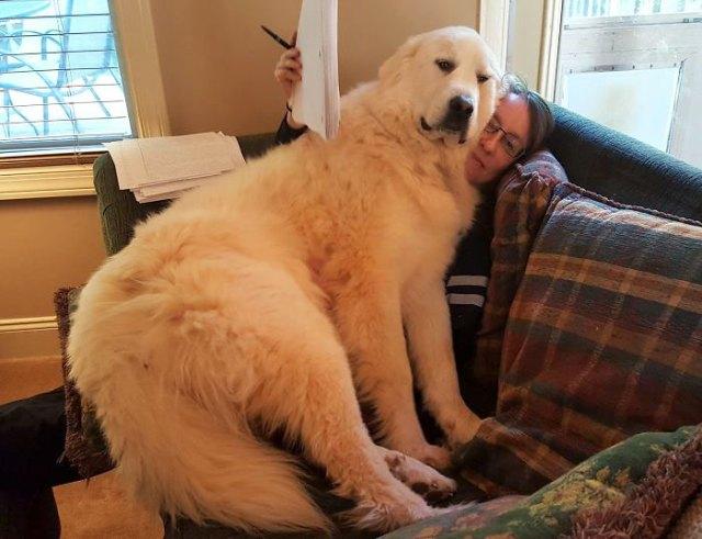 10+ собак, которые не понимают, насколько они БОЛЬШИЕ, и норовят залезть на колени