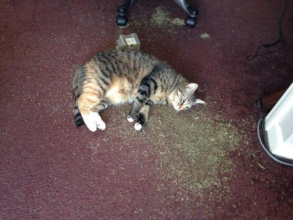10+ ситуаций, когда кошки встретили кошачью мяту и их бортовой компьютер завис