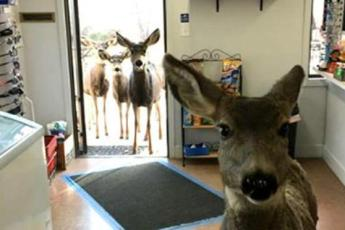Самка оленя не хотела покидать магазин – затем продавец поняла, что она хочет что-то показать