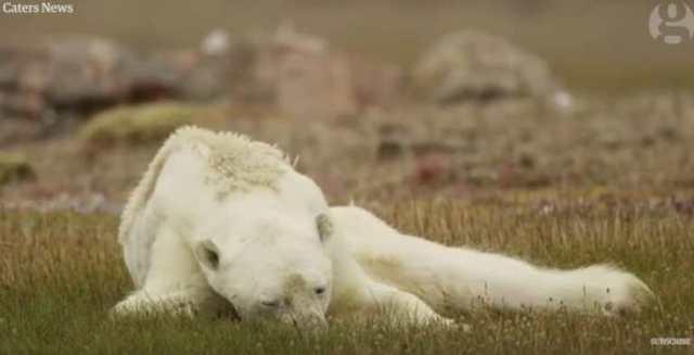 Душераздирающие кадры: Голодный белый медведь показал, почему мы должны заботиться о нашей планете