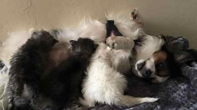 Двое котят как могли, оберегали больную сестренку. Вскоре они обрели необычную маму
