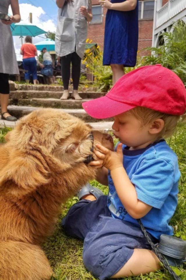 Телёнка вырастили в семье с собаками, и теперь он решил, что он пёс!
