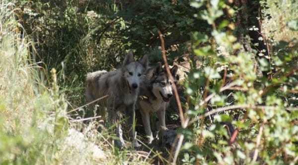 Голодная волчья собака боялась всего, пока не нашёлся дом, который показал ей, что такое любовь