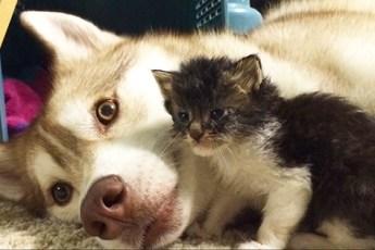 Поразительная реакция хаски на подобранного бездомного котенка