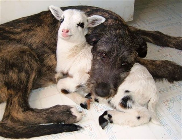 20 примеров, необычной дружбы среди животных
