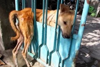 Пёс застрял в заборе и плакал от боли. Люди боялись к нему подойти, но посмотри, что случилось дальше!
