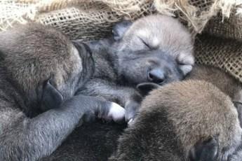Сокровище: эти щенки не представляют, насколько бесценны! Даже их родители целуются от счастья…