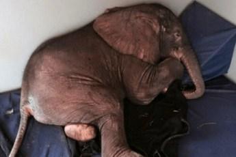 Слонёнка отвергло его стадо, от чего он впал в депрессию – но посмотрите на него, когда он встречает необычного друга