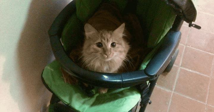 Картинки по запросу кошка в коляске
