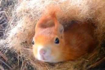 Умилительно е видео о белке построившей гнездо и воспитывающей бельчат