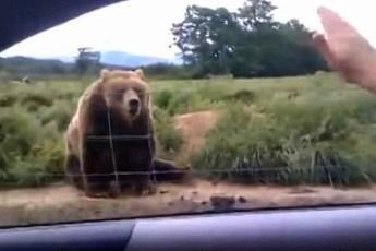 Женщина из машины машет рукой медведю – посмотрите на его неожиданный ответ, который не заставил себя долго ждать
