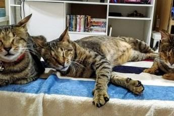 Женщина взяла из приюта трех слепых котов, которые год ждали хозяина…