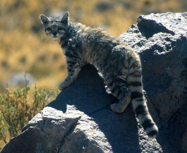 20 редких диких кошек, о которых вы, скорее всего не знали