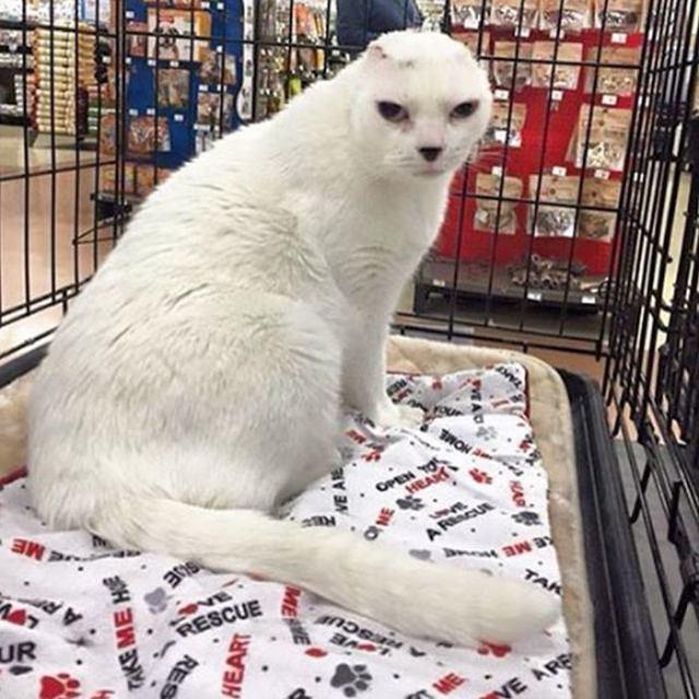 Узнав, что кот будет глухой после ампутации ушей, его бросили в приюте. Но затем появилась ОНА