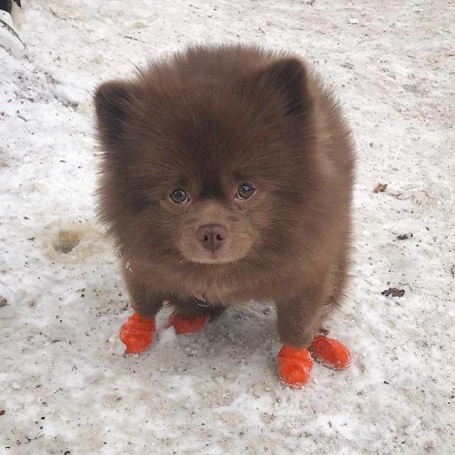 Заводчик бросил щенка-«медвежонка», которого не смог продать. Но он нашёл хозяйку и обзавёлся армией поклонников