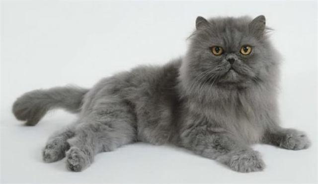 Коты-долгожители: 10 пород, которые могут прожить долгую жизнь