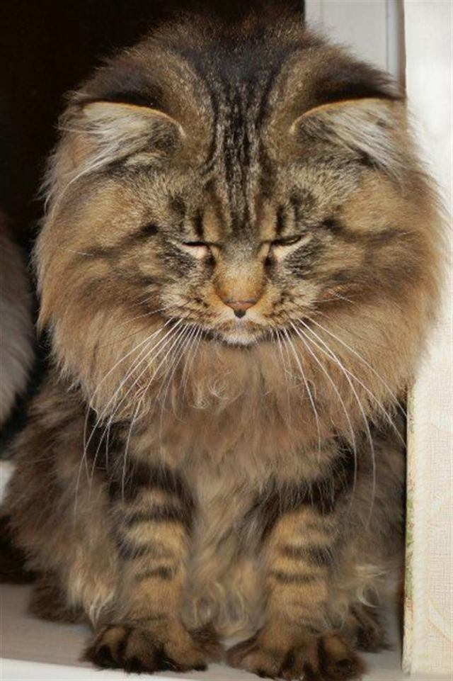 Кот мейн-кун: забавные фото и описание породы