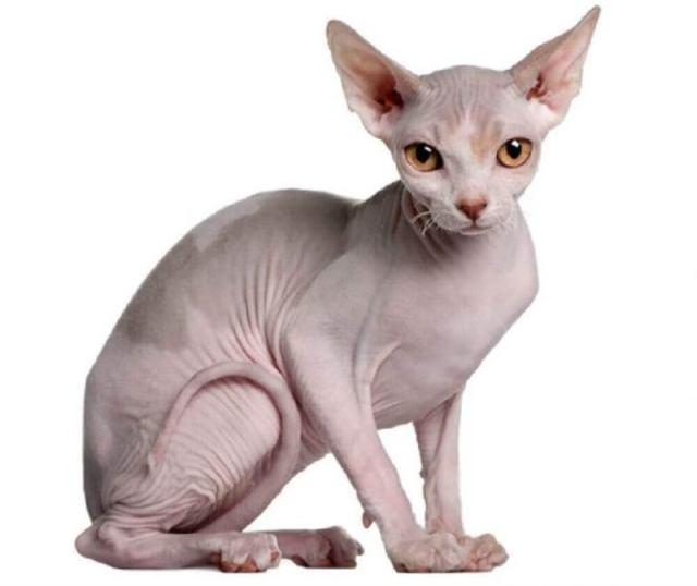 Мурлыка по цене квартиры, или 10 самых дорогих котов