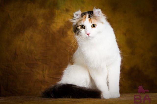 12 самых маленьких пород кошек в мире
