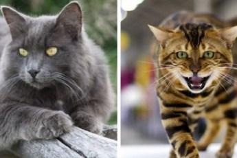 10 редких пород домашних кошек, поражающих своей красотой