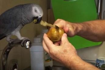 Помогая чистить картошку попугай Кирюша не прочь поболтать о всяком