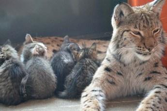 Сердобольная рысь, живущая в Иркутском зоопарке, уже вырастила медвежонка, енота и щенков, теперь взяла на попечение котят