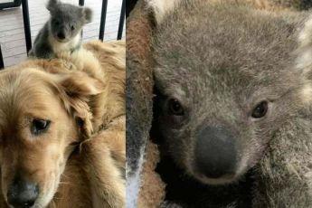 Собака, вернувшись с прогулки принесла с собой маленького детеныша коалы, очень удивив своих хозяев