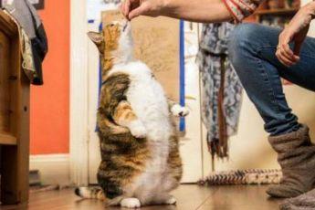 Перекормленная кошка из приюта снова стала стройной благодаря заботе новых хозяев