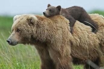 Нежные мамы медведицы и их милые медвежата