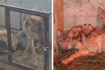 Два забитых волчонка жались друг к другу в тесной клетке