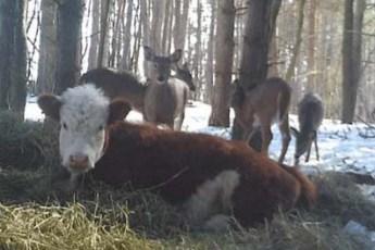 Теленок сбежал в лес, чтобы не пойти на мясо, и там нашел себе семью