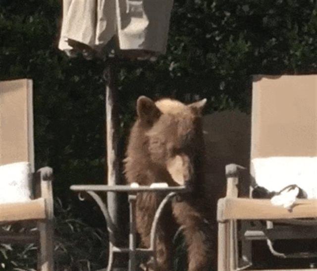 """В Калифорнии медведь пришел в частный дом, поплавал в бассейне и выпил коктейль """"Маргарита"""""""