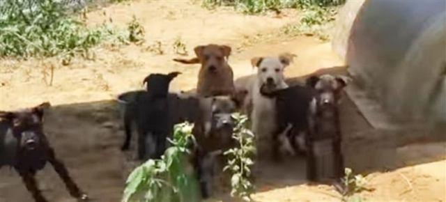 Застрявший в грязном сарае щеночек, истошно скулил и звал на помощь