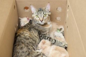 """Полосатая """"мать-героиня"""" взяла под опеку 14 котят"""