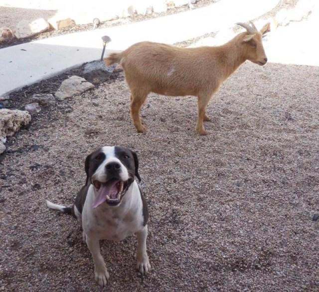 Друзья пес и козел сбежали с фермы и нашли себе новый дом