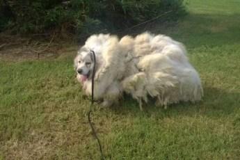 Обросшую собаку избавили от 16 килограммов шерсти