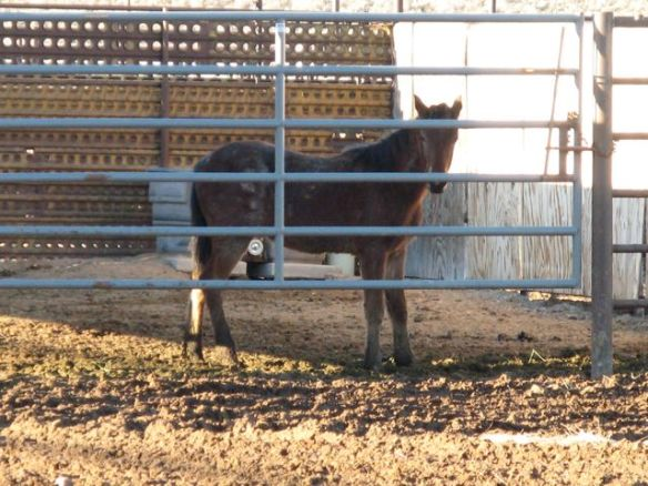Wild mustang weanling in holding. (Photos © Anne Novak, all rights reserved.)
