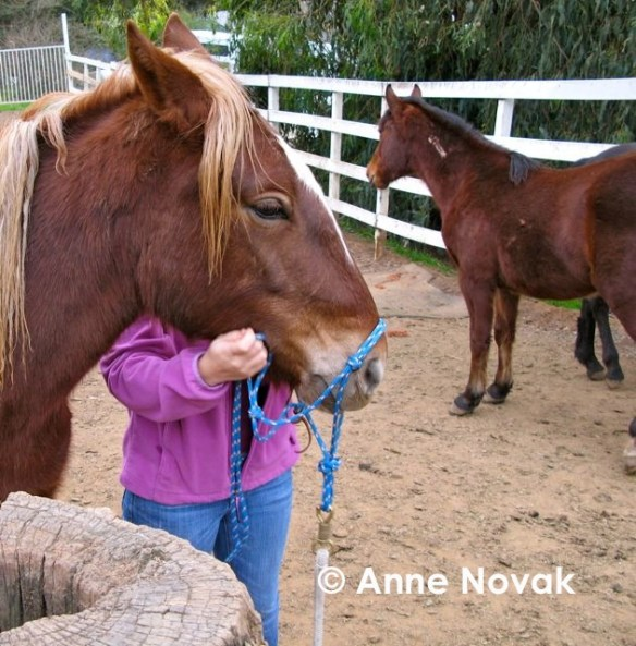 January 22, 2013 Blondie is allowing the halter on her nose.