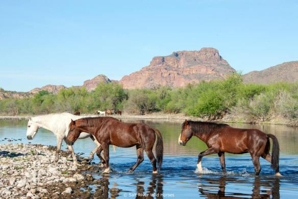 PM Salt River Wild Horses
