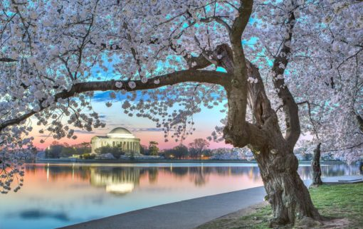 cherry_blossoms_national_mall_nps_andrew_rhodes_ste_smaller