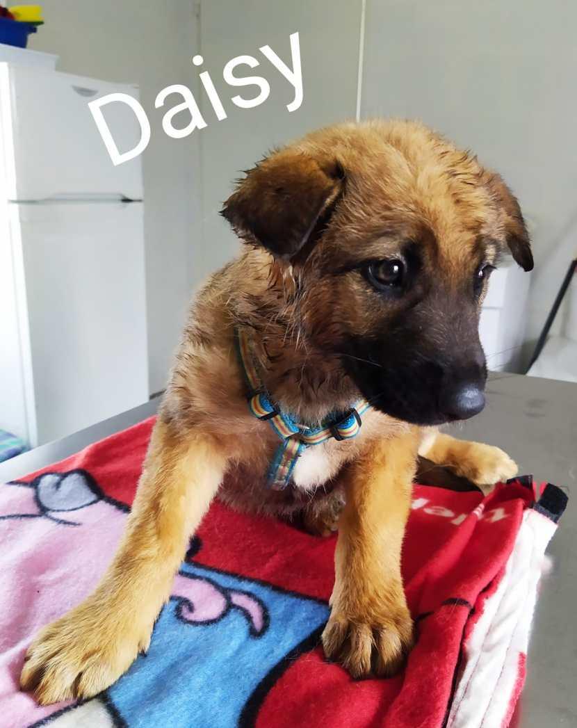 perro pastor aleman cachorro en adopción en la protectora de animales de jaca