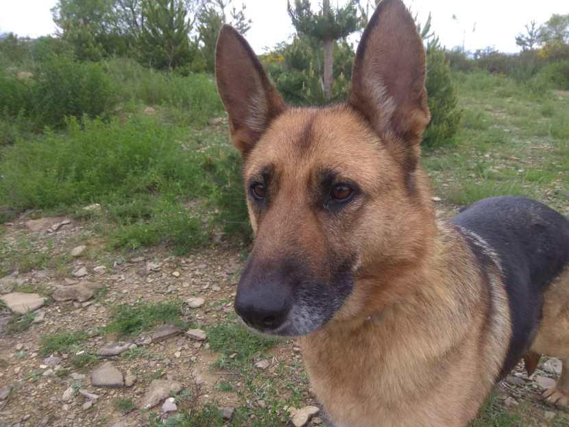 BONITA perro en adopción en la protectora de Jaca