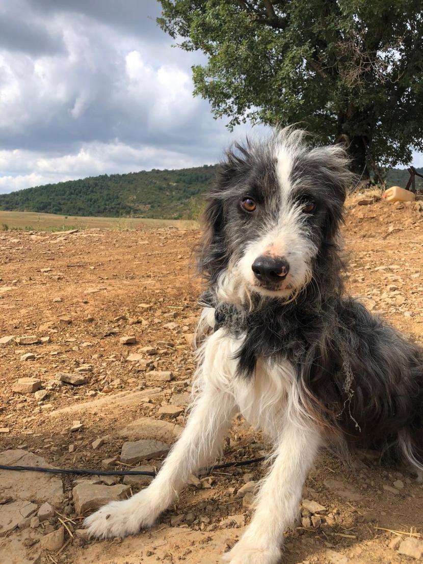 cotin perro joven macho cruce border collie con pastor catalan ago20 perro en adopción en la protectora de animales de jaca PORTADA2