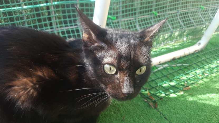 sirira 4 bebe gato en adopción en la protectora de jaca