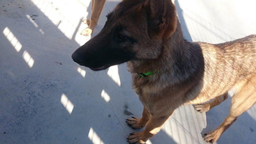 ALEX PERRO MALINOIS EN ADOPCIÓN EN LA PROTECTORA PARA ANIMALES ABANDONADOS DE JACA NOV20